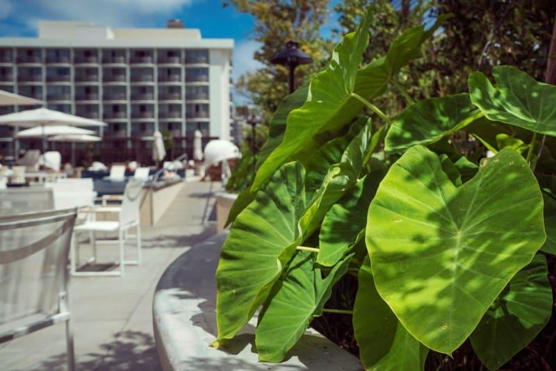 EcoLux☆Lifestyle: Ecotourism: Harvesting Kalo in Waikiki
